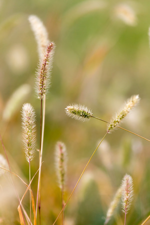 ears of grass on the nature photo