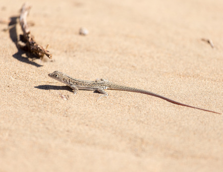 viviparous lizard: lizard in the nature