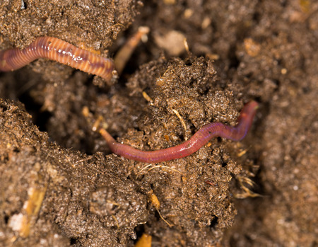 red worm manure photo