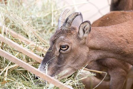 wild goat: