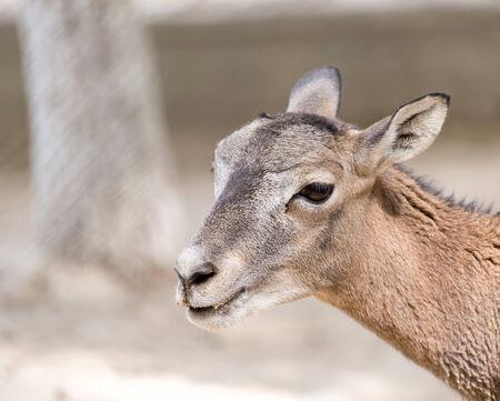 wild goat: Retrato de una cabra salvaje