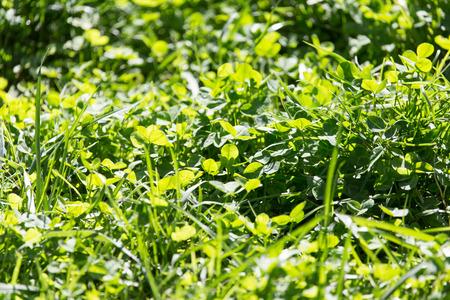 cloverleafes: clover in nature