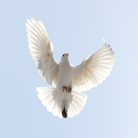 birds in flight: dove in flight in the sky Stock Photo