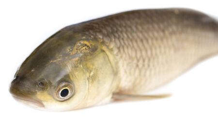 scardinius: fish on a white background