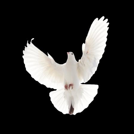 paloma de la paz: Un vuelo libre aislados paloma blanca sobre un fondo negro Foto de archivo