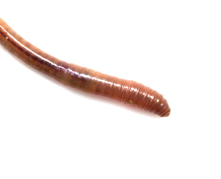 annelida: earthworms on a white background. Macro Stock Photo