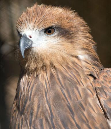 Portrait hawk on nature photo
