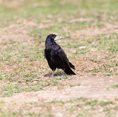 lurk: black raven on nature Stock Photo