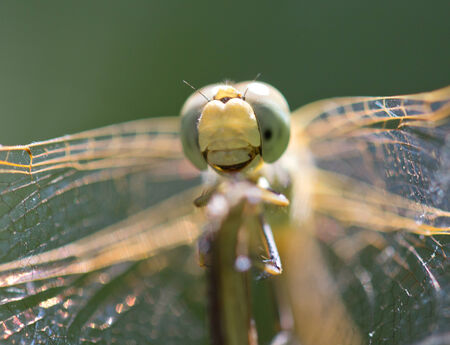 snaketail: dragonfly in nature. macro