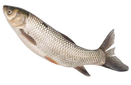 erythrophthalmus: fish on a white background