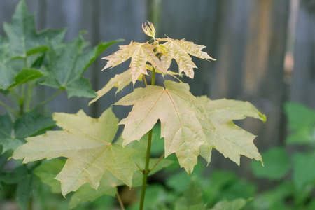 norway maple: small maple tree in nature
