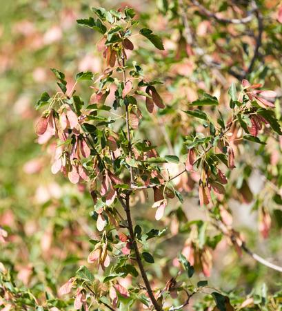 sicomoro: Maple Sycamore Acer Rubrum Alati Seeds Archivio Fotografico