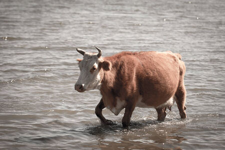 herdsman: cow in the water on the lake