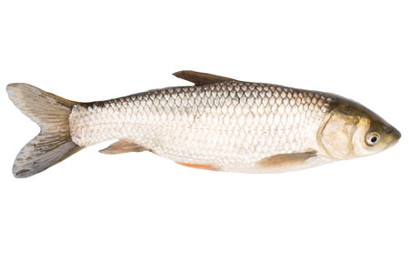 cyprinoid: fish on a white background