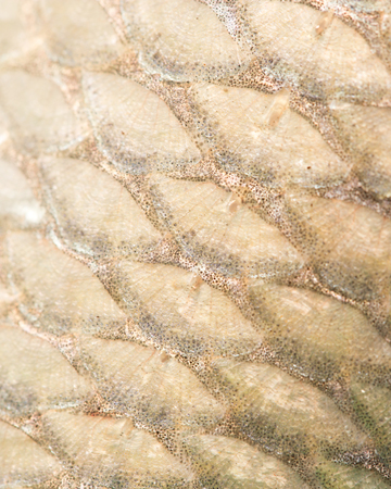 rutilus rutilus: pattern of fish scales