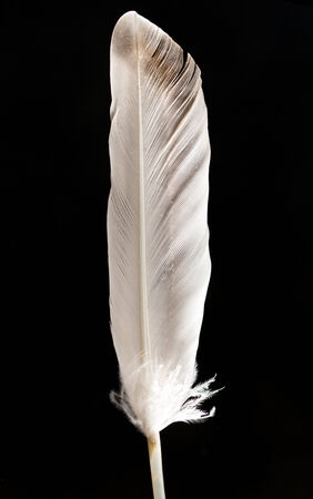 dead duck: feather on a black background Stock Photo