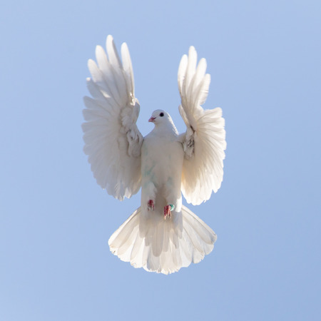 dove peace: white dove on a background of blue sky Stock Photo