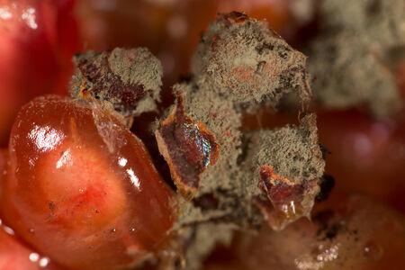 mildewed: Moldy pomegranate