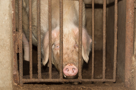 pigpen: pig behind the fence