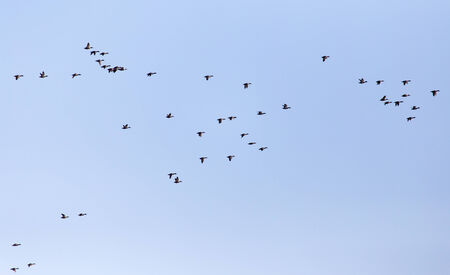 white necked: a flock of ducks on a blue sky Stock Photo