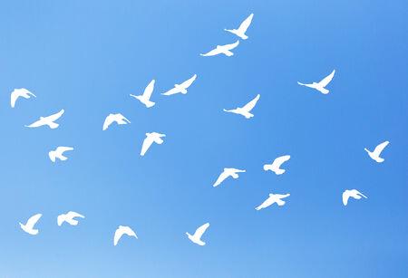pluma blanca: paloma silueta sobre un fondo de cielo azul Foto de archivo
