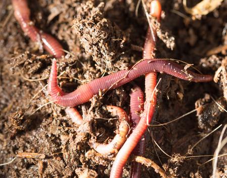 gusanos: gusanos rojos en el compost - cebo para la pesca Foto de archivo