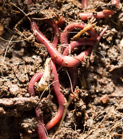 squirm: red worms in compost - bait for fishing Stock Photo