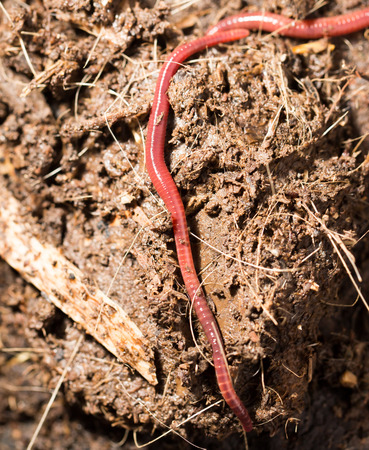 worms: red worms in compost - bait for fishing Stock Photo