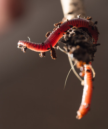 annelida: worm on a stick. close-up