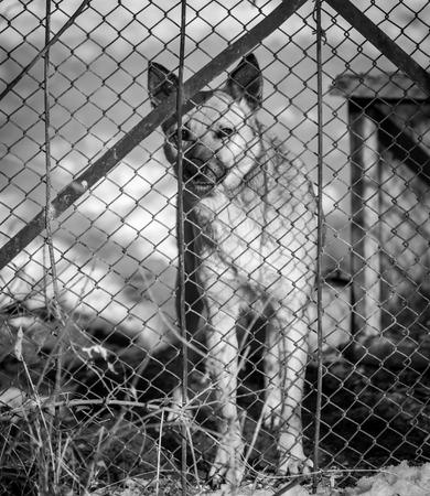 perro furioso: perro enojado detr�s de una valla Foto de archivo