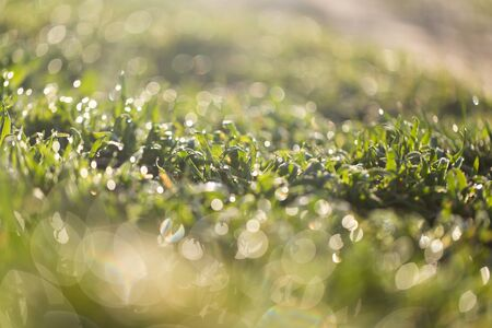 thick growth: dew on the grass