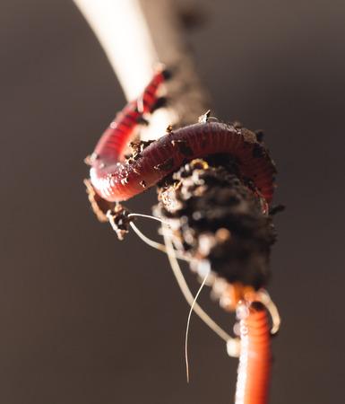 anguine: worm on a stick. close-up