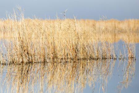 canne: canne gialle presso il lago Archivio Fotografico