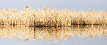 yellow reeds at the lake photo