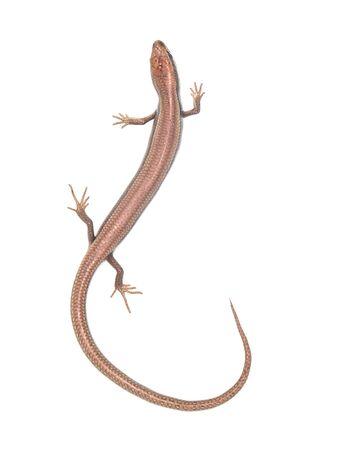 lagartija: lagarto en un fondo blanco