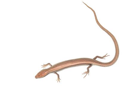 enceinte: lizard on a white background