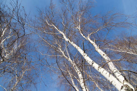 against: birch against the blue sky