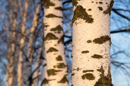 birch at sunrise sun photo