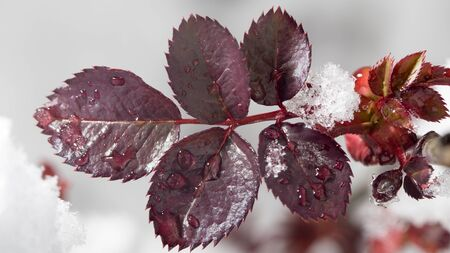 medow: Red leaf in the snow in the spring. close-up