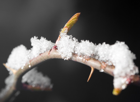 interdiction: The buds of the tree close-up frozen in ice Stock Photo