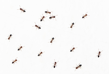 salticidae: ants on a white wall. close-up