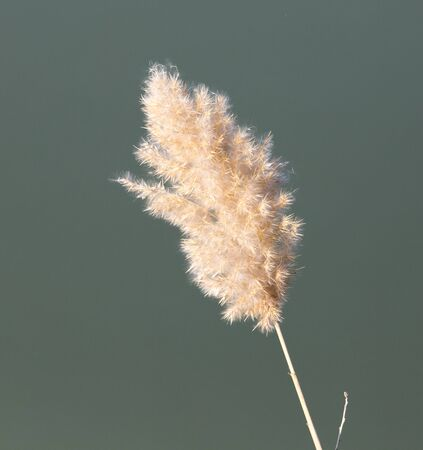 bullrush: bulrush in nature