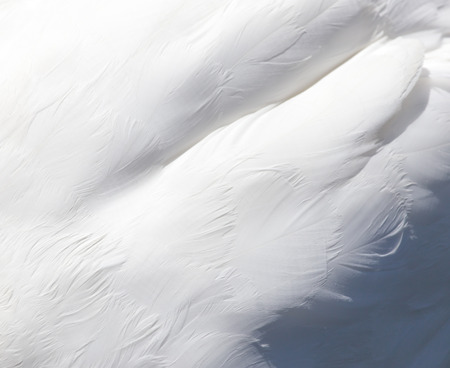 background of white swan feathers Banco de Imagens