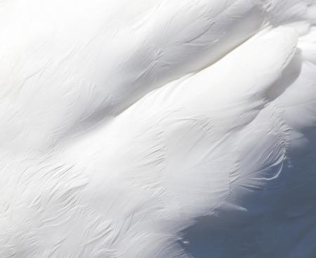 background of white swan feathers Standard-Bild