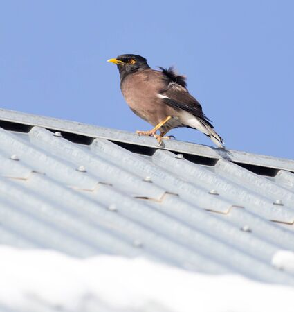 roosting: Starling on the roof in winter