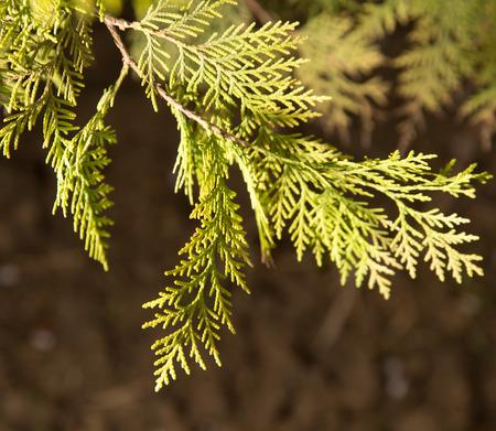 thuja occidentalis: Thuja Outdoors
