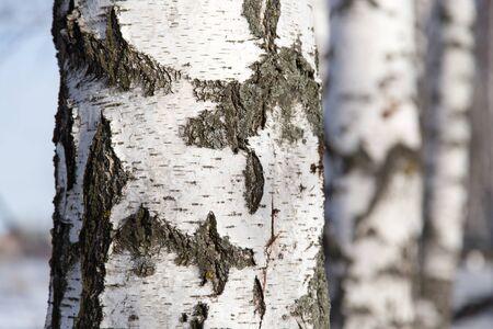birch trunk as background photo