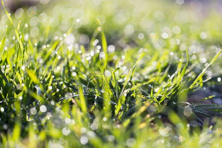thick growth: drops of dew on the grass
