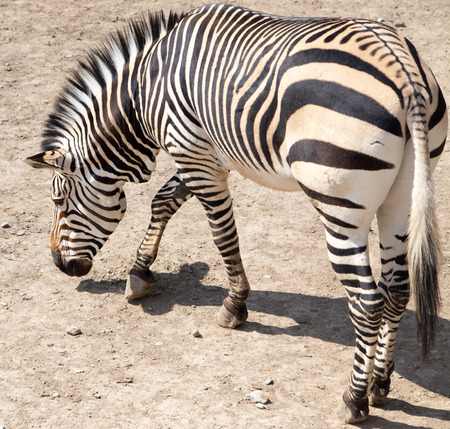 burchell: zebra in the zoo