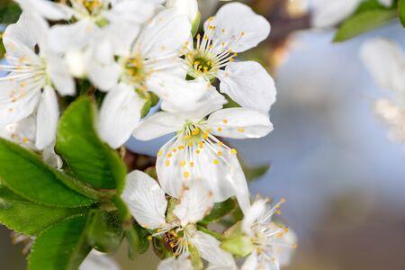 Weiße Blumen Auf Dem Baum Im Natur Lizenzfreie Fotos, Bilder Und ...